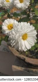 cream white chrysanthemum of my garden