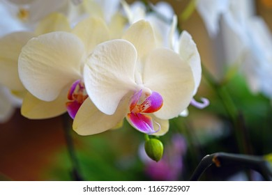 A cream yellow and pink phalaenopsis moth orchid flower in bloom