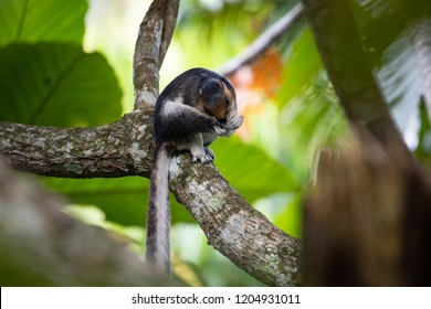 Cream-coloured giant squirrel (Ratufa affinis), or pale giant squirrel, biting his foot in Borneo, Sepilok, Malaysia.
