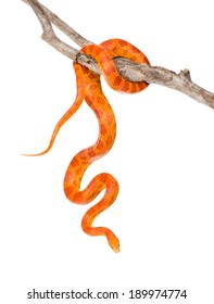 Creamsicle Corn Snake (Elaphe guttata guttata) on a dry branch. isolated on white background