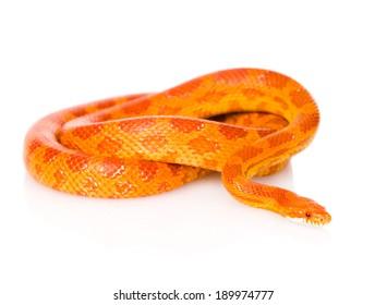 Creamsicle Corn Snake (Elaphe guttata guttata). isolated on white background