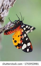 Cream-spot Tiger - Arctia villica, beautiful colored moth from European woodlands and meadows, Pag island, Croatia.