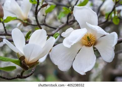Creamy blossom of white magnolia tree. Beautiful creamy magnolia flower. Magnolia flower in Botanic garden.