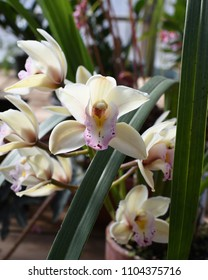 Creamy orchid blossom with purple spotted throat.