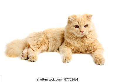 Creamy  scottish highland six monthes cat isolated on white