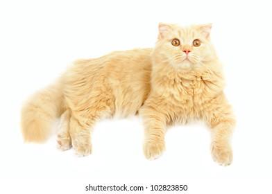 Creamy  scottish highland six months cat isolated on white