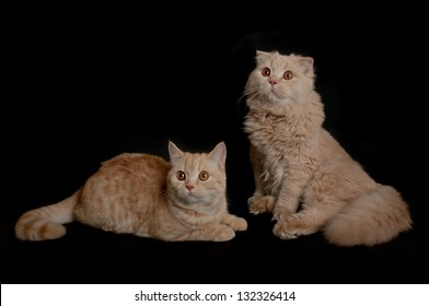 Creamy  scottish straight shorthair and fold longhair six months cats isolated on black