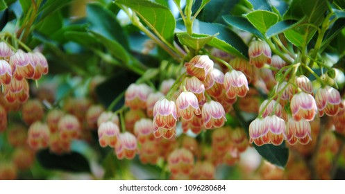 White bell shaped flowers images stock photos vectors shutterstock creamy white bell shaped flowers with red veins of redvein enkianthus enkianthus campanulatus mightylinksfo