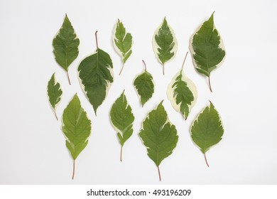 Creative arrangement of dogwood green leaves (cornus alba) on white background. Flat lay, top view.