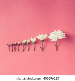 Creative arrangement of flowers on pink background. Blooming concept. Flat lay