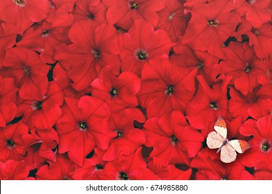 Creative background made of red flower and butterfly. Flat lay.  Flat lay. Flower concept. Petunia flower.