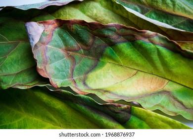 farbige Avocado-Blätter mit kreativem Hintergrund, Nahaufnahme