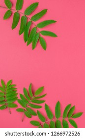 Creative flat lay top view pattern with fresh green rowan tree leaves on bright pink background with copy space in minimal duotone pop art style, frame template for text