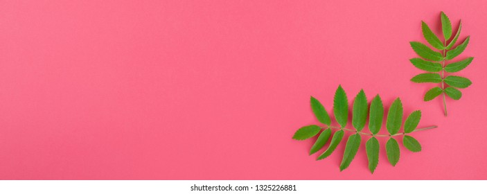 Creative flat lay top view pattern with fresh green rowan tree leaves on bright pink background with copy space in minimal duotone pop art style, frame template for text. Long wide banner