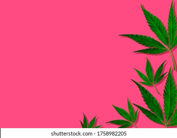 Creative green cannabis leaves in pink background.