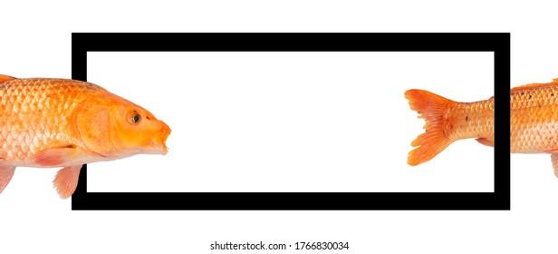 Creative layout made of carp fish on white background