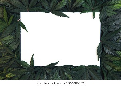 Creative layout made of green cannabis leaves. Flat lay. Nature concept