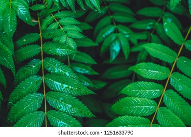 Creative layout made from green leaves. Flat lay. Nature Background. Dark, yellow and green, raindrops. Concept ecology, veganism, Agriculture.