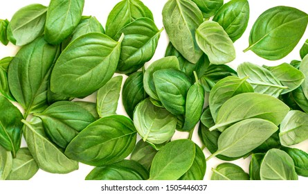 Creative layout made of Organic Basil herb leaves isolated on white background. Basil Pattern. Flat lay, top view. Food ingredient concept