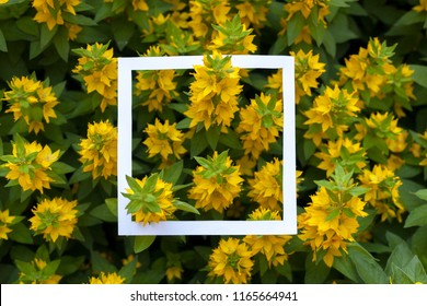 Creative and nature concept. Yellow flowers with paper card frame for text