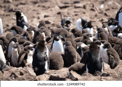 A Creche of rockhopper chicks surrounding an adult in a colony on  Pebble Island in the Falkland Islands during the summer.