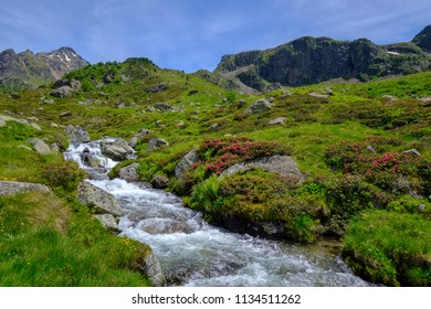 Creek with rusty-leaved alpenrose in the french Pyrenees mountains in summer, Aston in Ariege