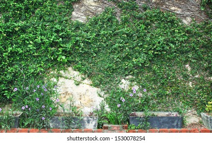 Creeper green leaf plant growing through concrete wall  background with purple flower in pot