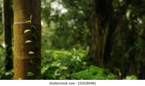 Creeper growing on the trunk of tree in forest