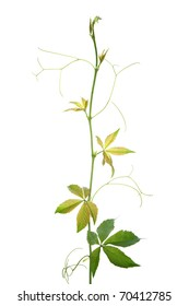 Creeper plant branch isolated on white background