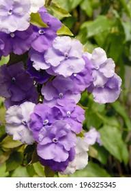creeper plant Brunfelsia Pauciflora in blossom