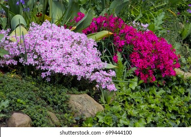 Creeping Alpine Moss Phlox (Phlox subulata) in two different pink and magenta red colors in a perennial rock garden