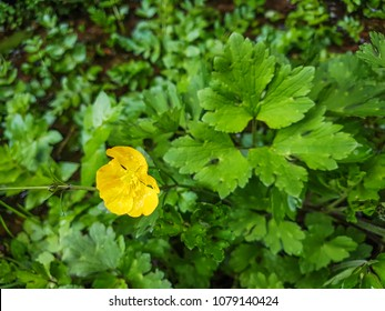 Creeping buttercup or gold button, Ranunculus repens, growing in Galicia, Spain