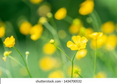 Creeping Buttercups Ranunculus repens in flower