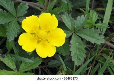 Creeping Cinquefoil - Potentilla reptans Single flower and leaves