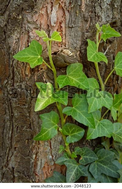 creeping ivy on a tree