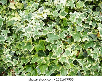 Creeping ivy plant on the wall for background