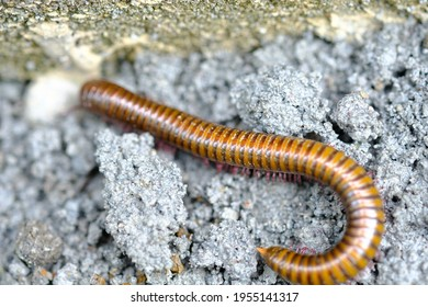 Creeping millipede, is an arthropod that has two pairs of legs per segment. Millipedes are an order of invertebrates belonging to the phylum Arthropoda, class Myriapoda. Diplopoda.