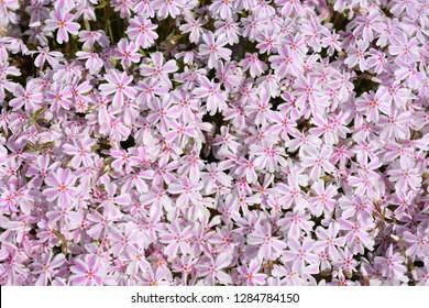 Creeping Phlox Candy Stripe - Latin name - Phlox subulata Candy Stripe