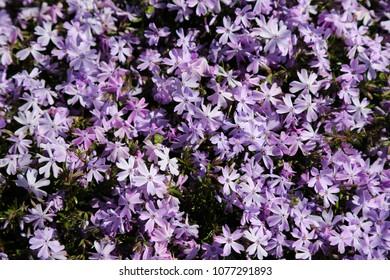 creeping phlox flowers