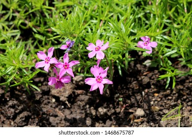 Creeping phlox or Phlox stolonifera or Moss phlox herbaceous stoloniferous perennial plants with pink flowers surrounded with narrow green leaves planted in local urban garden on warm sunny spring day