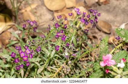 Creeping phlox (Phlox subulata) or moss phlox on flowerbed