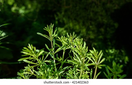 The creeping plant Cleavers that has medicinal properties.