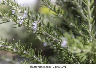 Creeping rosemary herb bush purple flowers blossom closeup