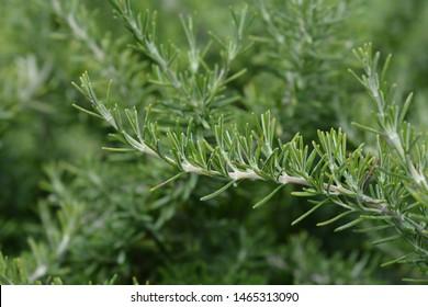 Creeping Rosemary - Latin name - Rosmarinus officinalis Prostratus