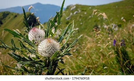 Creeping Thistle in highland terrain