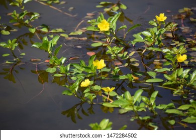 Creeping water primrose with yellow flowers blooming during the hot summer days at the park at river walk, Bakersfield, CA.