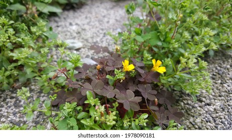 Creeping woodsorrel flower close up