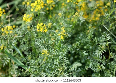 Creeping yellowcress, Rorippa sylvestris, herbaceous perennial with sprawling branches, pinnately lobed leaves with large terminal lobe, yellow flowers in terminal raceme, fruit straight or curved.
