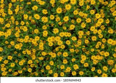 Zinnia mit vielen gelben Blumen und grünen Blättern und Knospen in Draufsicht