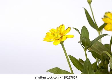 Creeping Zinnia yellow or Zinnia Angustifolia flower, Beautiful flower on white background